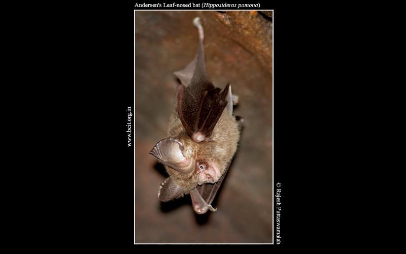 Andersen_s-Leaf-nosed-bat-Hipposideros-pomona-sample.jpg