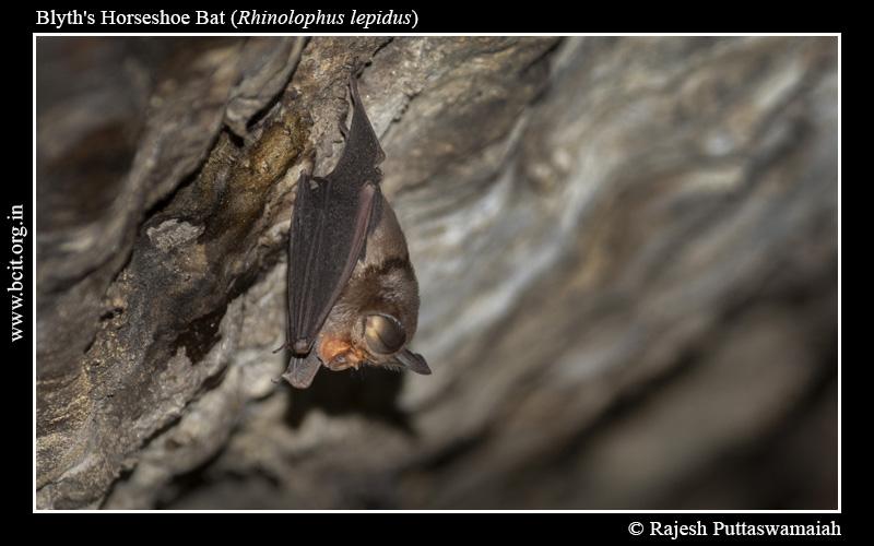 Blyth_s-horseshoe-bat-Rhinolophus-lepidus-1.jpg