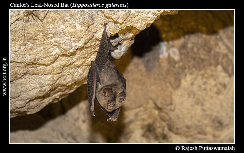 Cantor_s-Leaf-Nosed-Bat-Hipposideros-galeritus-6-2.jpg