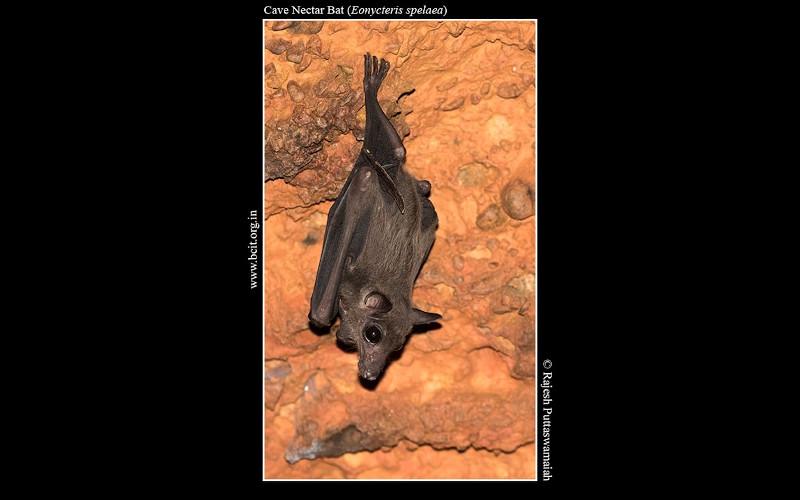 Cave-Nectar-Bat-Eonycteris-spelaea.jpg
