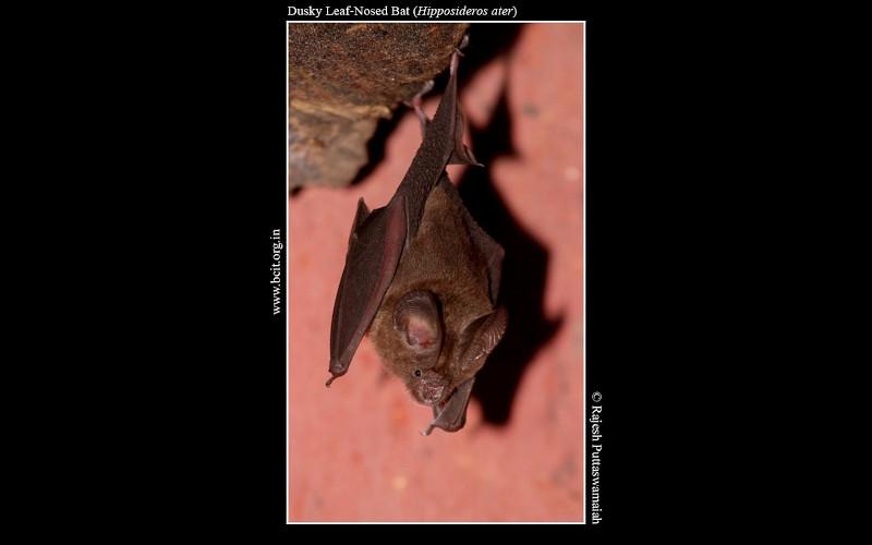 Dusky-leaf-nosed-bat-Hipposideros-ater.jpg