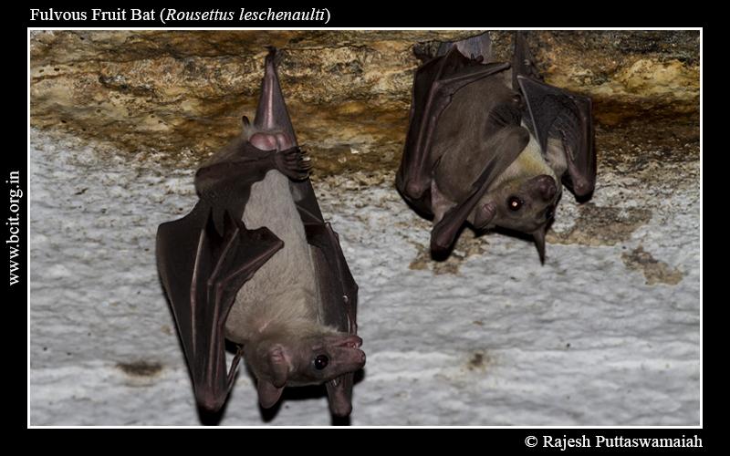 Fulvous-Fruit-Bat-Rousettus-leschenaulti-06-1.jpg