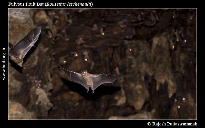 Fulvous-Fruit-Bat-Rousettus-leschenaulti-Bhimgad-1.jpg
