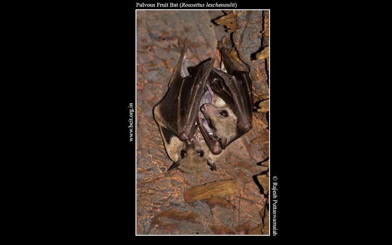 Fulvous-Fruit-Bat-Rousettus-leschenaulti.jpg