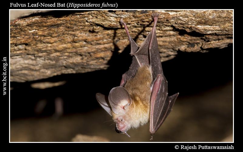Fulvus-roundleaf-bat-Hipposideros-fulvus-1-2.jpg