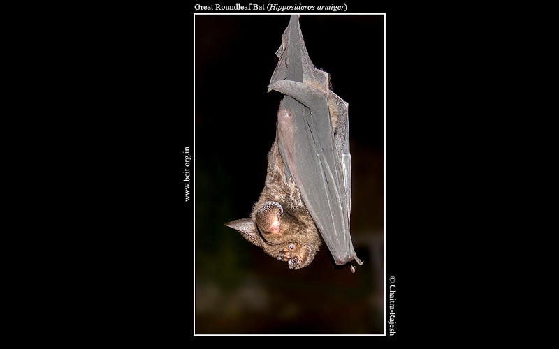 Great-roundleaf-bat-Hipposideros-armiger.jpg