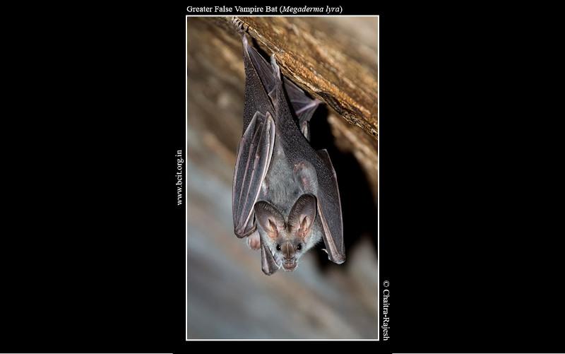 Greater-False-Vampire-Bat-Megaderma-lyra-FrontProfile.jpg