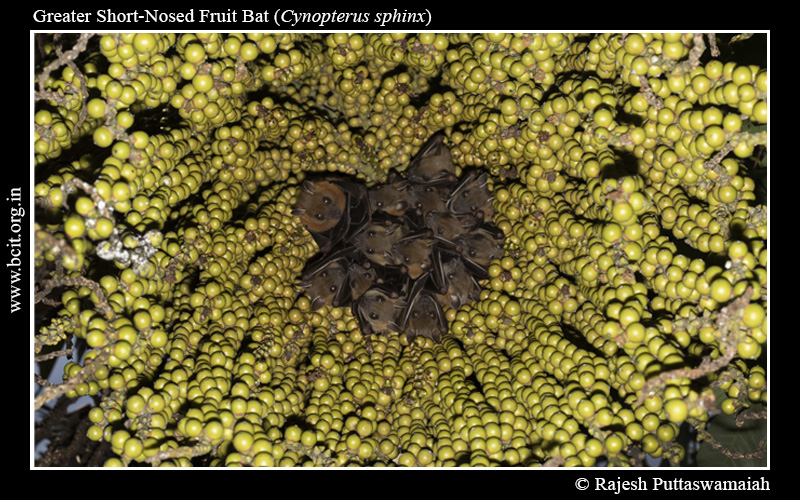 Greater-Short-Nosed-Fruit-Bat-Cynopterus-sphinx-Harem-1.jpg