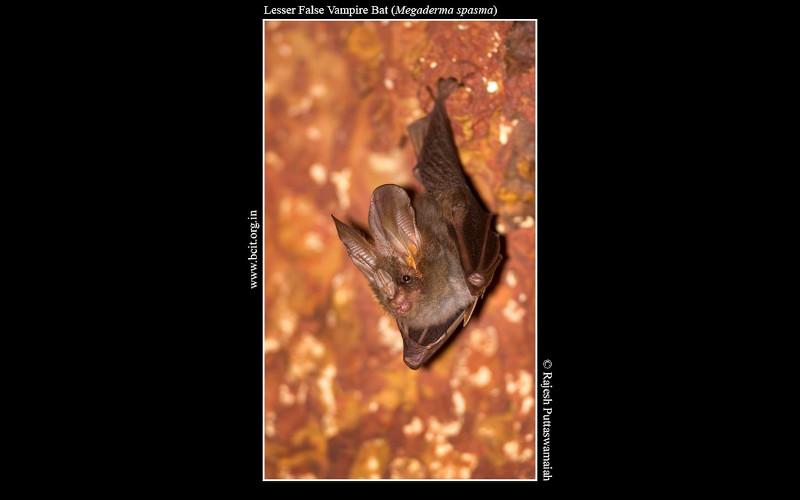 Lesser-False-Vampire-Bat-Megaderma-spasma-Barapede.jpg