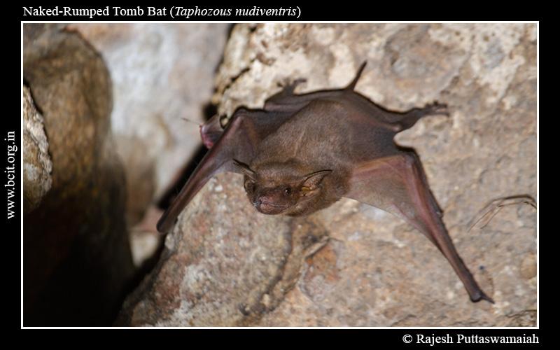 Naked-Rumped-Tomb-Bat-Taphozous-nudiventris-Golkonda-2.jpg