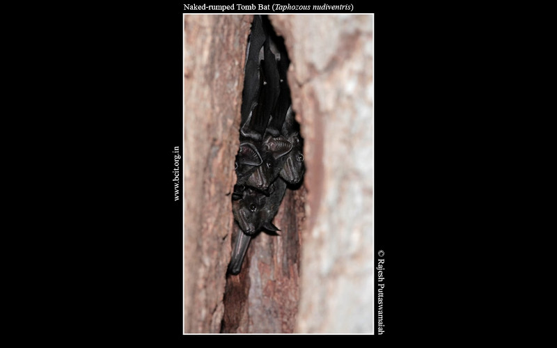 Naked-rumped-Tomb-Bat-Taphozous-nudiventris-Madurai.jpg