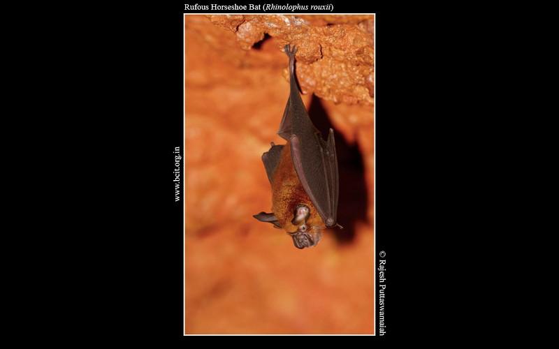 Rufous-Horseshoe-Bat-Rhinolophus-rouxii-Kamalashile.jpg