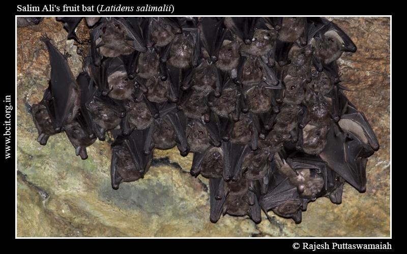 Salim-Ali_s-fruit-bat-Latidens-salimalii-07-1.jpg