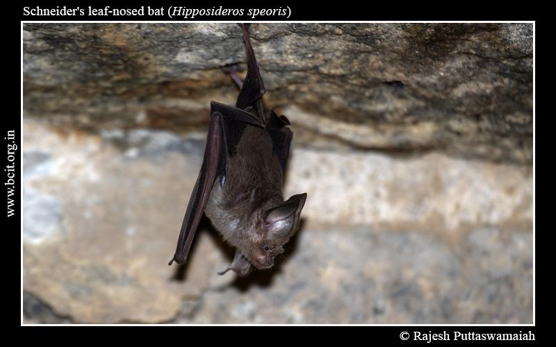 Schneider_s-Roundleaf-Bat-Hipposideros-speoris-Hampi-1.jpg