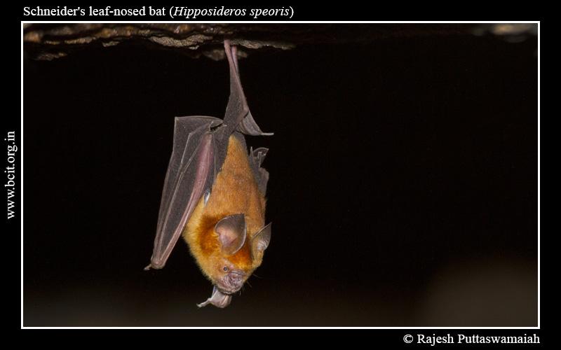 Schneider_s-leaf-nosed-bat-Hipposideros-speoris-Hunnigere-1.jpg