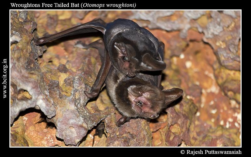 Wroughtons-Free-Tailed-Bat-2.jpg