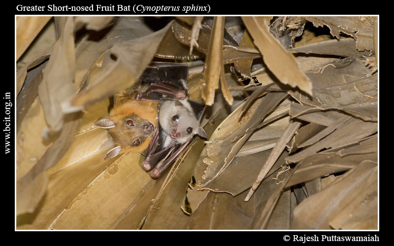 greater-short-nosed-fruit-bat-Cynopterus-sphinx-Mother-_-Pup-2-2.jpg