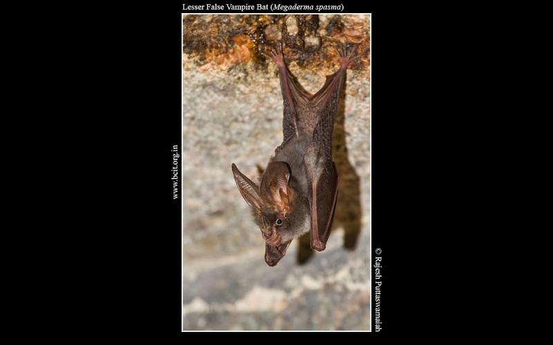 lesser-false-vampire-bat-Megaderma-spasma.jpg